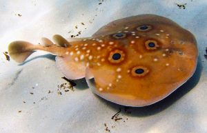Torpedo Fish