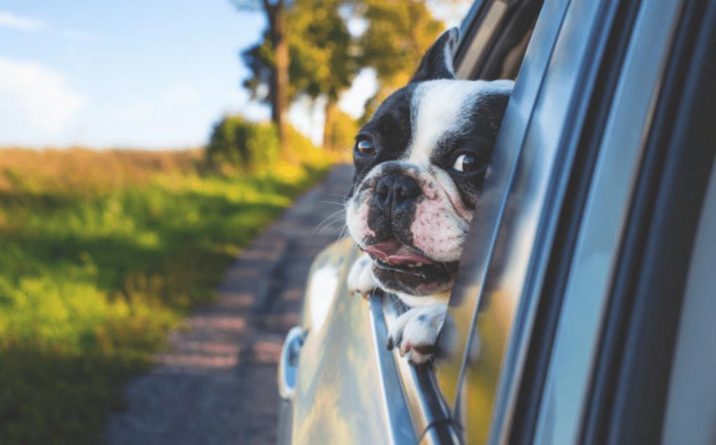 Puppy in car