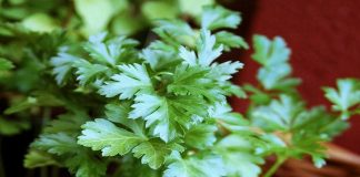Health benefits of parsley featured image